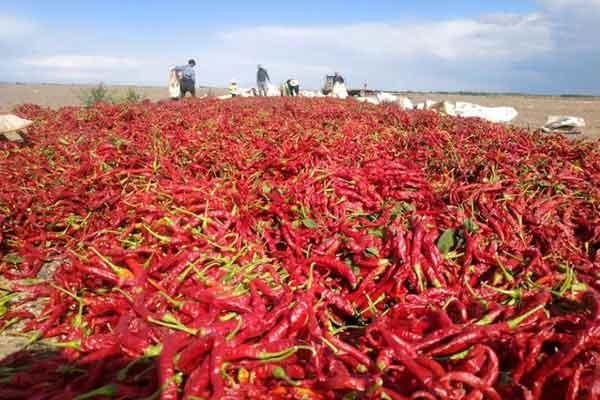 新疆兵团团场6万亩辣椒开始采收 火红辣椒铺满地