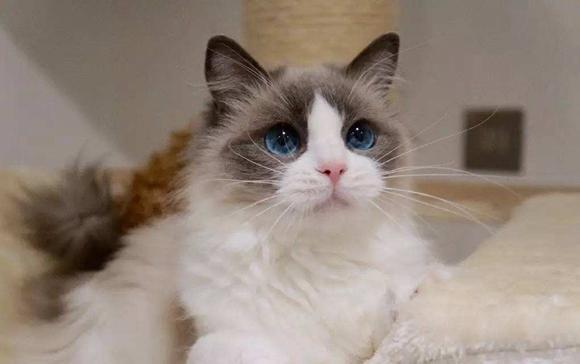 2.5万买入布偶猫竟先天缺肾?猫主起诉商家要求退一赔三