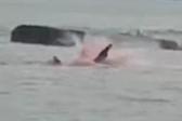 乘客目睹大白鲨袭击海豹 海水变红引人惊恐尖叫