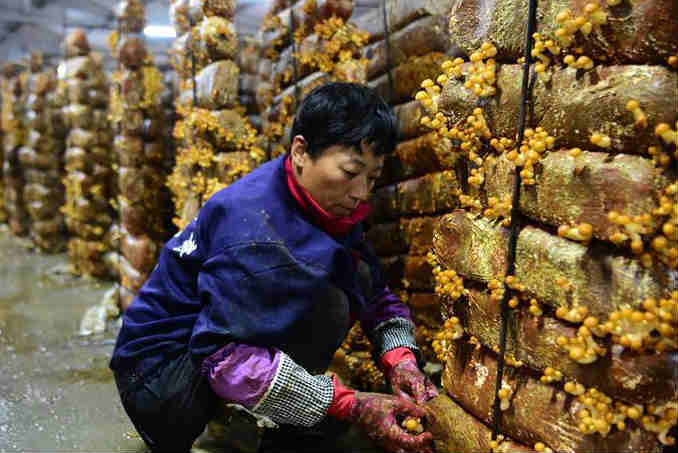 食用菌助力脱贫增收