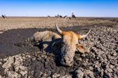 非洲恩加米湖即将干涸 数百动物身陷泥泞等死