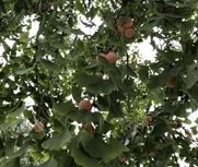 这种果子随处千万别捡!