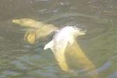 志愿者组成人墙救助被困运河4天的海豚
