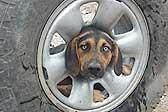智利一流浪狗头被卡在车轮里 消防员解救
