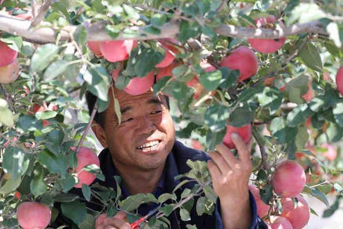 """""""苹果之乡""""苹果红了"""