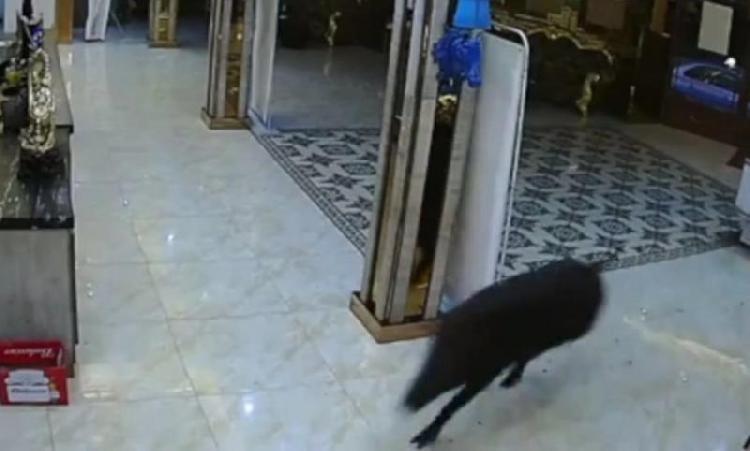 男女KTV包厢正唱歌 一头野猪突然闯进大厅撞碎玻璃