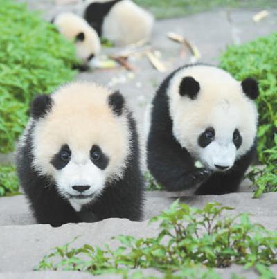 卧龙成为首个国家级大熊猫自然保护区