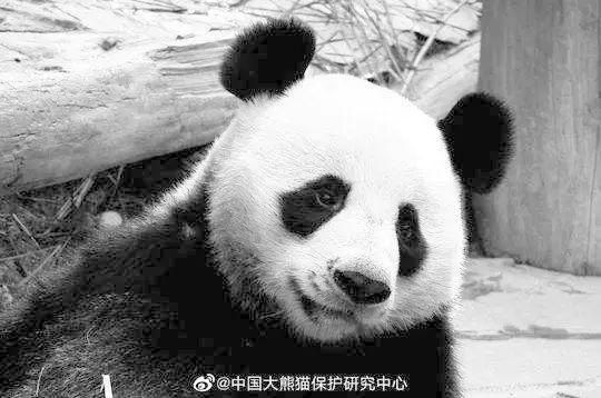 """旅泰大熊猫""""创创""""死亡结果通报:慢性心力衰竭急性发作所致"""