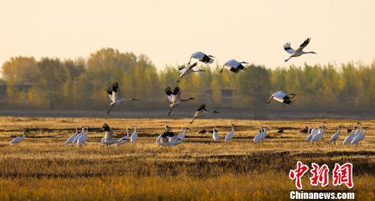 吉林莫莫格湿地迎千余只极危白鹤停歇