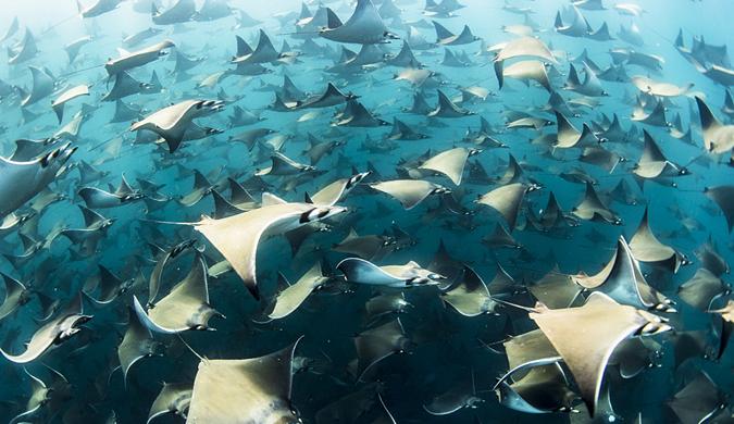 大群蝠鲼聚集墨西哥海域 体型巨大泳姿曼妙