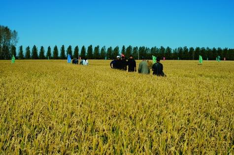 量子光碳核(禾)肥: 田间品秋韵 农户说丰年