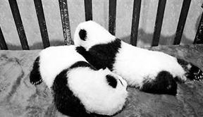 花100万能给熊猫宝宝终身冠名
