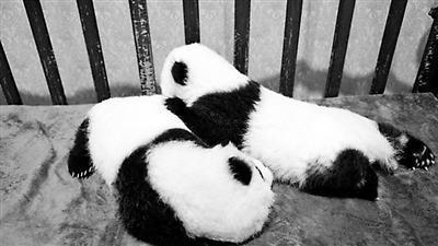 花100万能给熊猫宝宝终身冠名 还享有对其的探视权