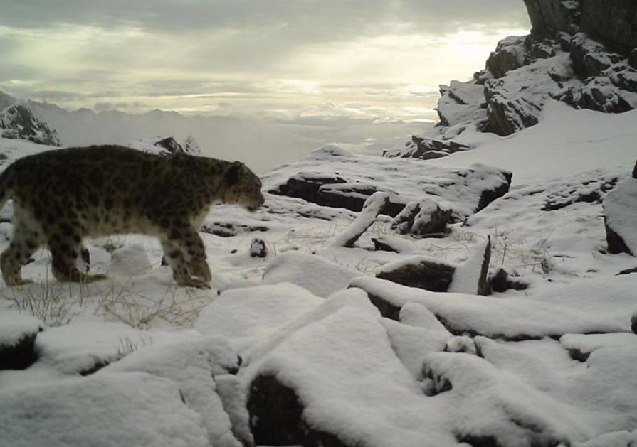 四川卧龙发布雪豹十年监测报告:分布密度极高 食谱多样 食物充足