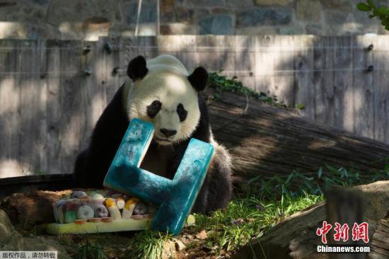 美媒:旅美大熊猫贝贝11月回中国 动物园将办欢送派对