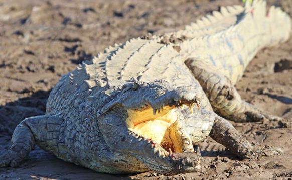 津巴布韦11岁女孩为救同伴勇斗鳄鱼 最终脱险