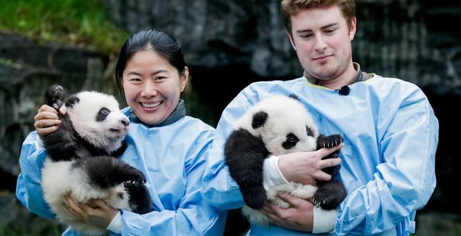 """比利时新生双胞胎大熊猫""""宝弟""""""""宝妹""""亮相又乖又萌"""