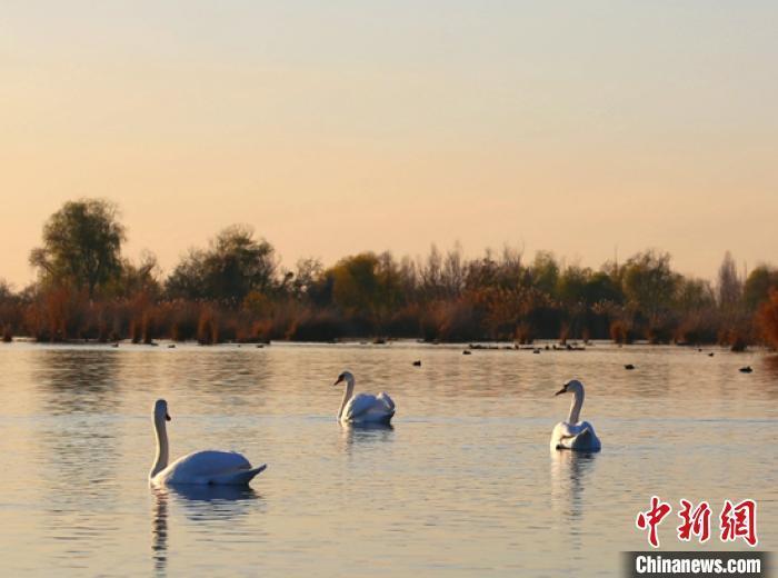 新疆伊犁河谷湿地迎来今年首批天鹅