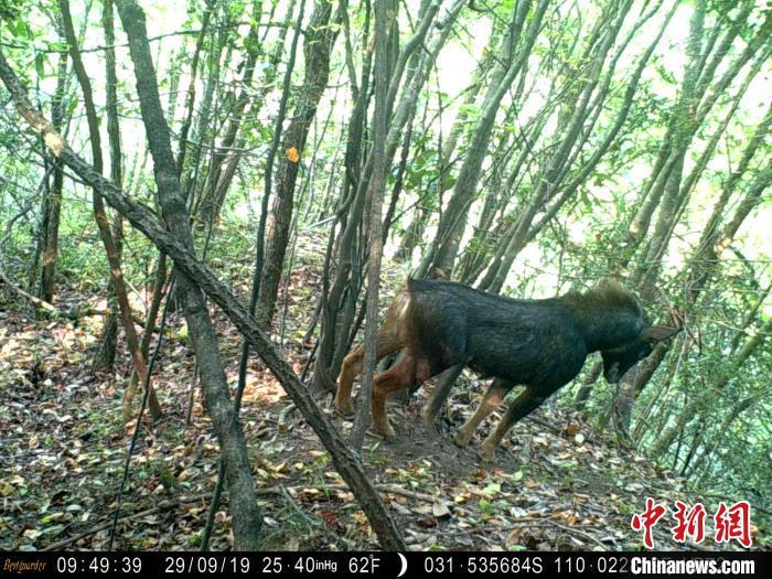 湖北十堰大山深处 红外线相机拍下诸多珍稀野生动物