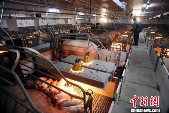 农业农村部:生猪生产探底回升 出现多方面积极信号