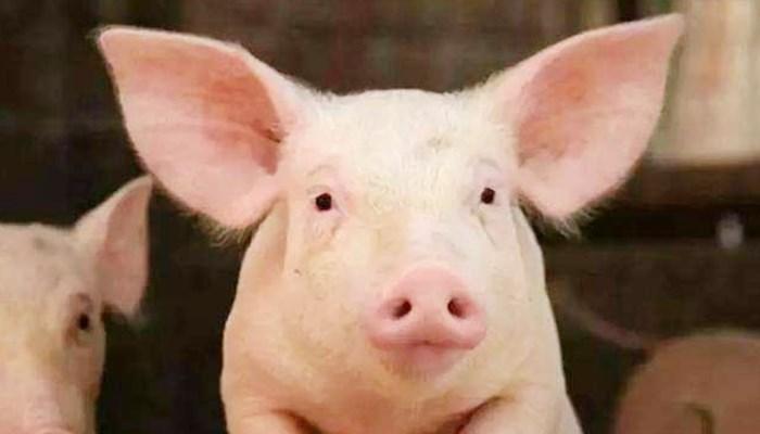 四川叙永:外省违规调运生猪中排查出非洲猪瘟疫情