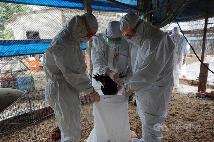 台一养禽场检出H5N5禽流感 扑杀8209只黑羽土鸡