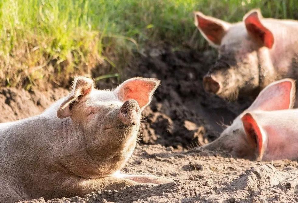 同猪不同命?猪年尾声,去古代看看猪啥待遇