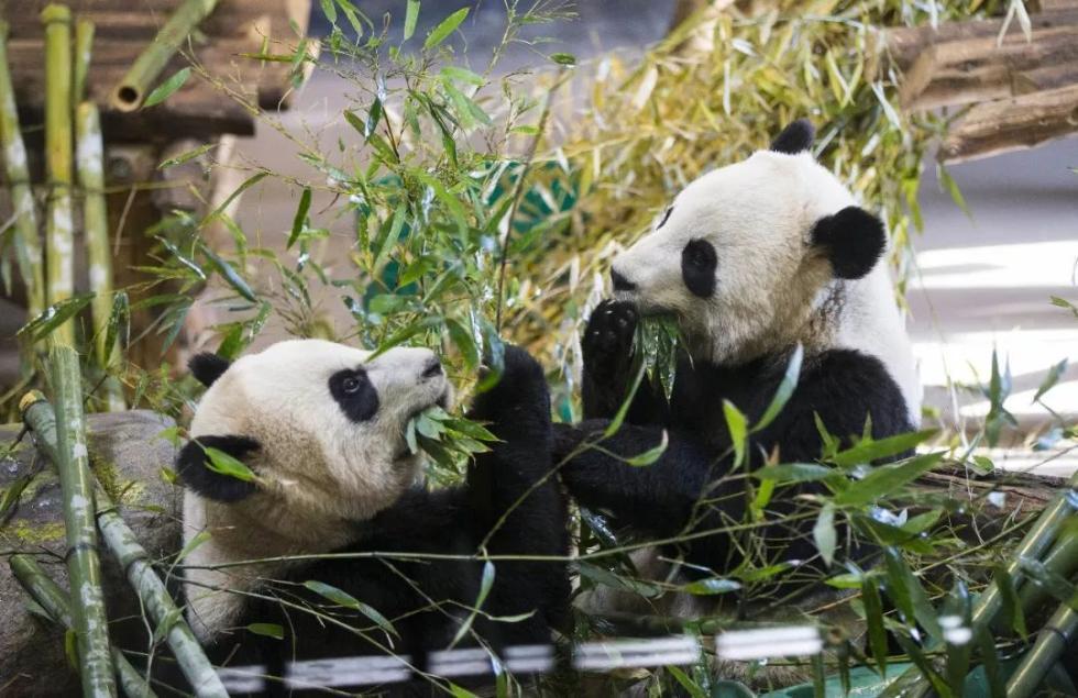 回家过年!旅居加拿大的龙凤胎大熊猫返乡