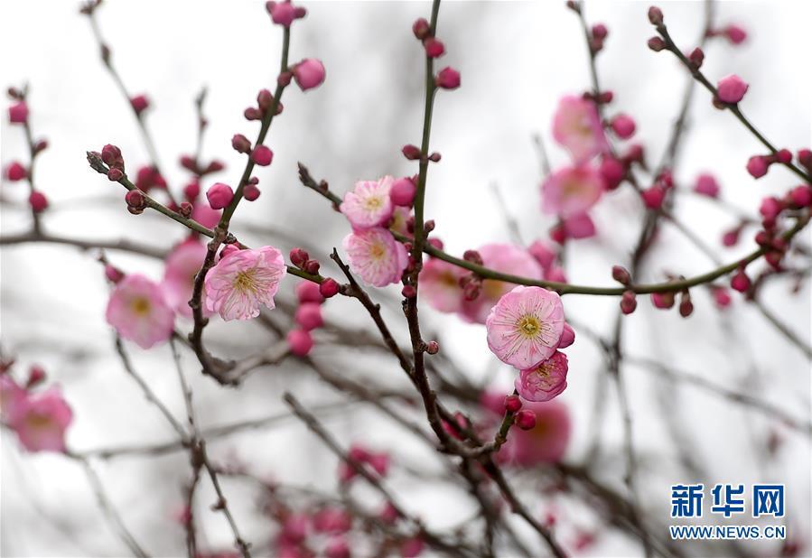 杭州:灵峰探梅