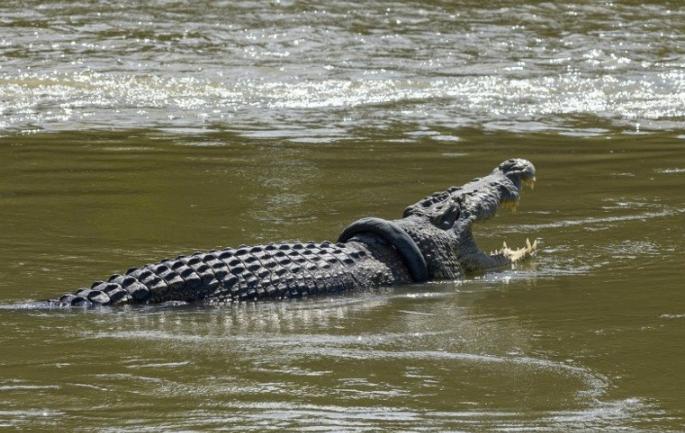 鳄鱼脖子缠轮胎呼吸困难 印尼政府:谁摘下来,重奖