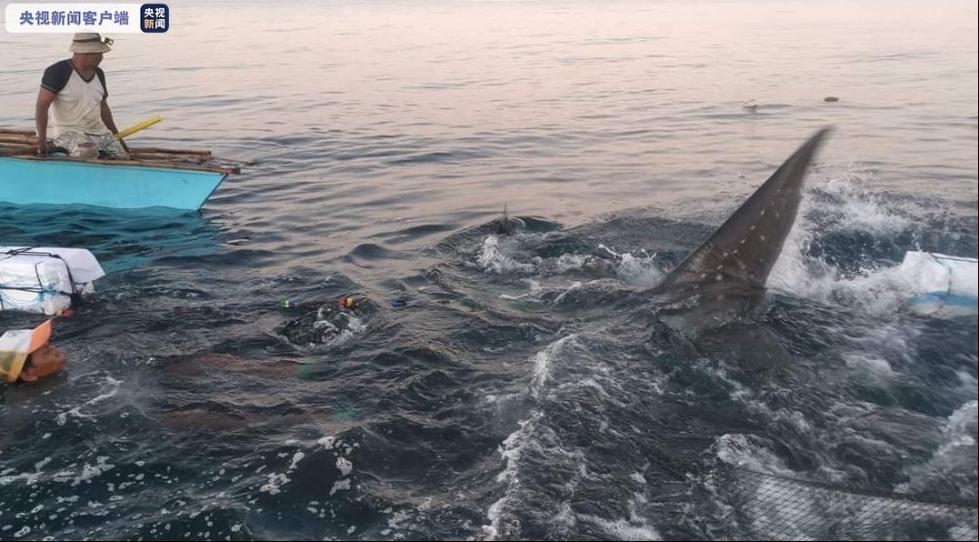 菲律宾三米鲸鲨被困后获救 重回大海
