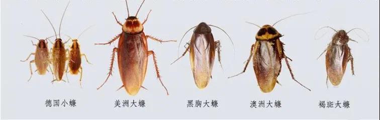 这种活了4亿年的虫子能传染40多种疾病!学3招有效防蟑螂
