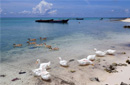 西沙赵述岛渔民饲养的鸭子