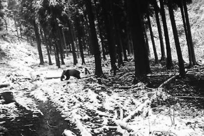大熊猫朝山上走去