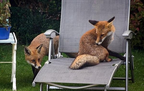 苏格兰男子抓拍小狐狸花园嬉戏 场面欢乐有爱