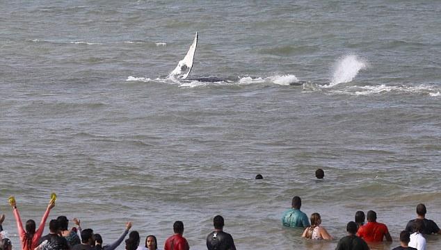 幼鲸搁浅巴西沙滩24小时 群众齐心协力终解救