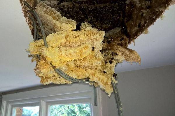 英夫妇家阁楼藏巨大蜂巢 蜂蜜渗透天花板