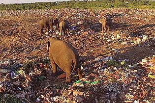 斯里兰卡象群垃圾填埋场觅食 已有6头中毒身亡