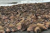 壮观!逾200头海象登陆阿拉斯加海岸觅食