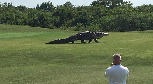 <b>美国一高尔夫球场再现巨型短吻鳄</b>