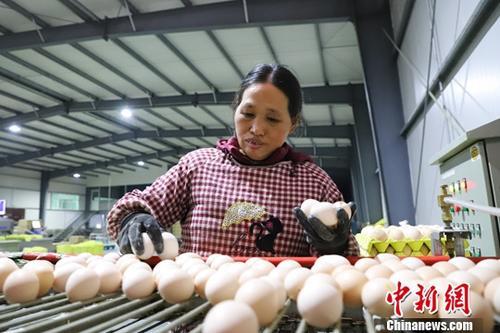 """台湾现鸡蛋荒 每日""""南蛋北送""""40万颗供应需求"""
