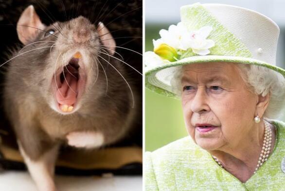 """英国女王的住所白金汉宫被曝出现了鼠患 女王也""""感到惊恐"""""""